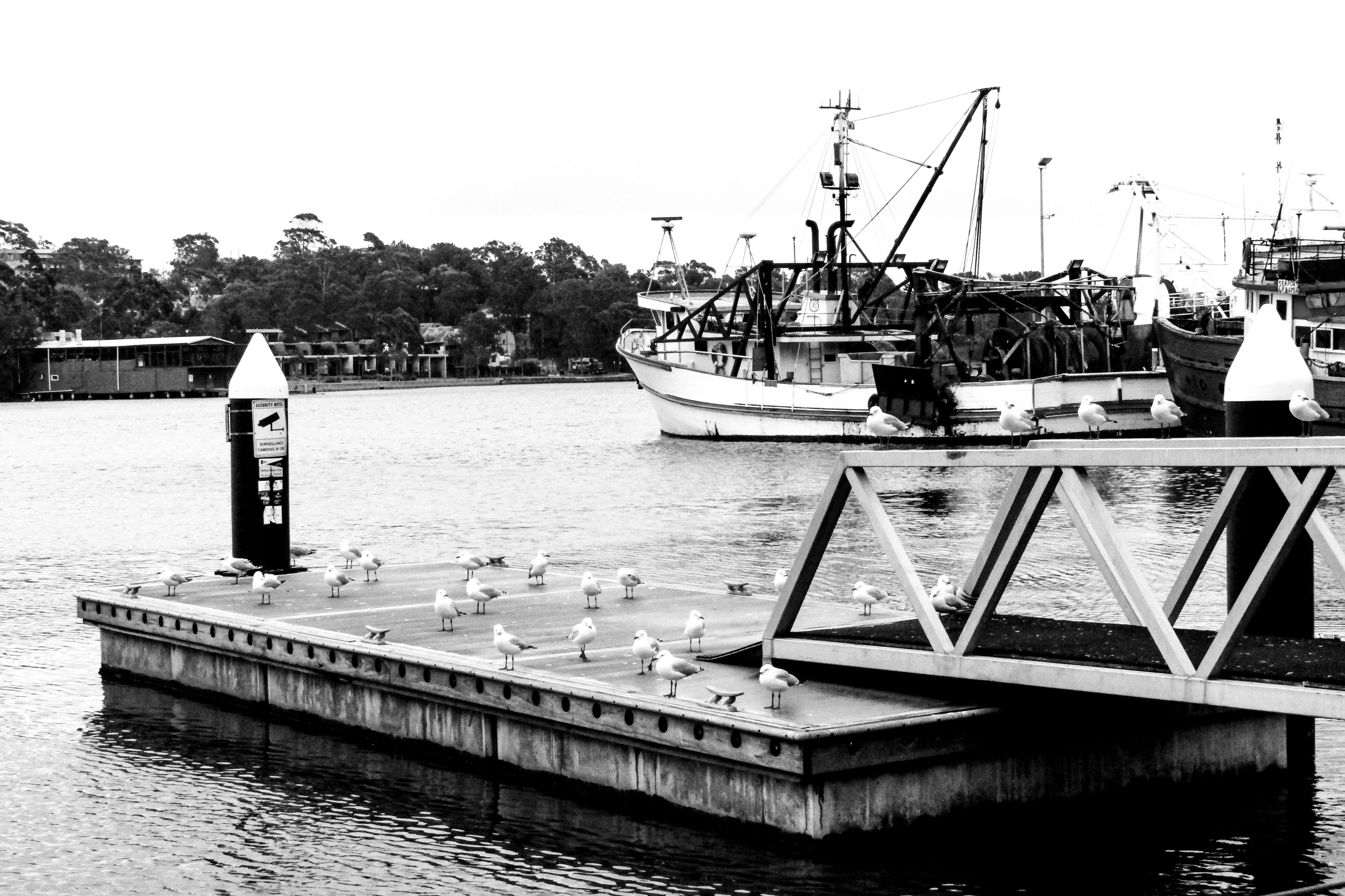 Free stock photo of birds, black and white, day, dock