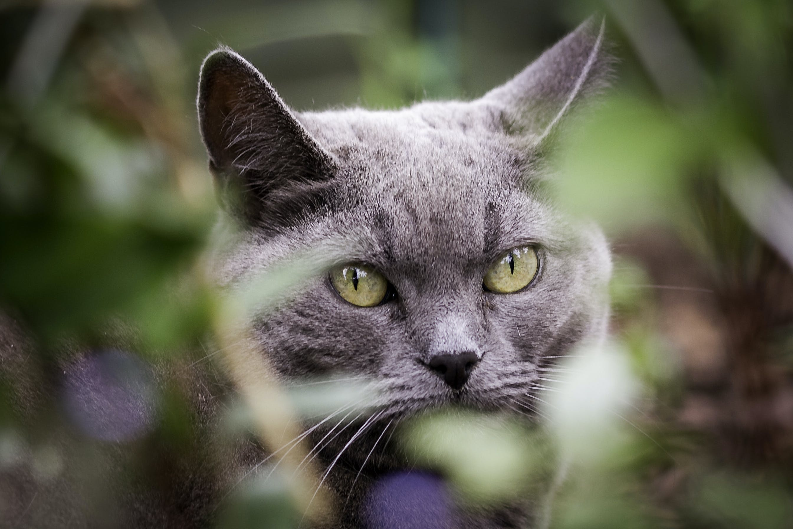 Selective-focus Photography of Short-fur Gray Cat