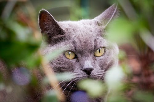 Selective-focus Photography of Short-fur Gray Cat