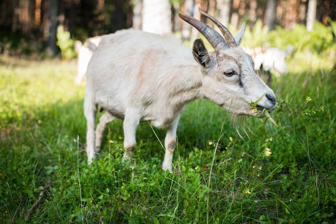 cabra comiendo pasto