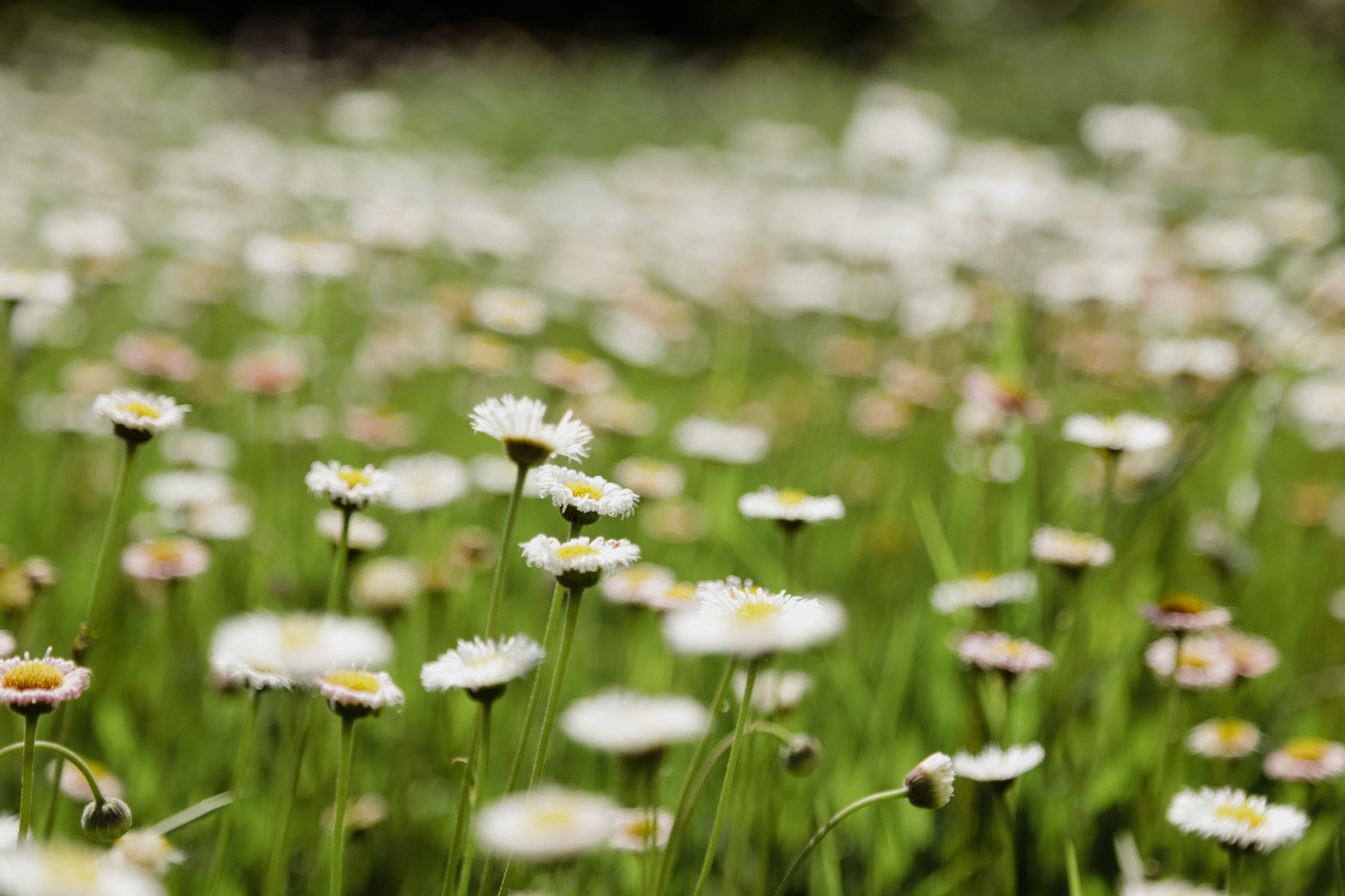 Free stock photo of beautiful flowers, bunch of flowers, daisy, green