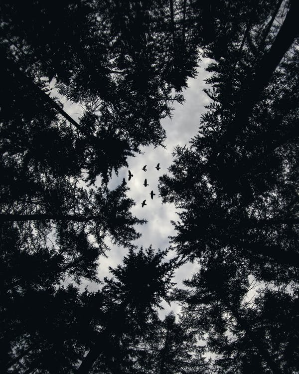 Low Angle Photo of Trees and Flying Birds