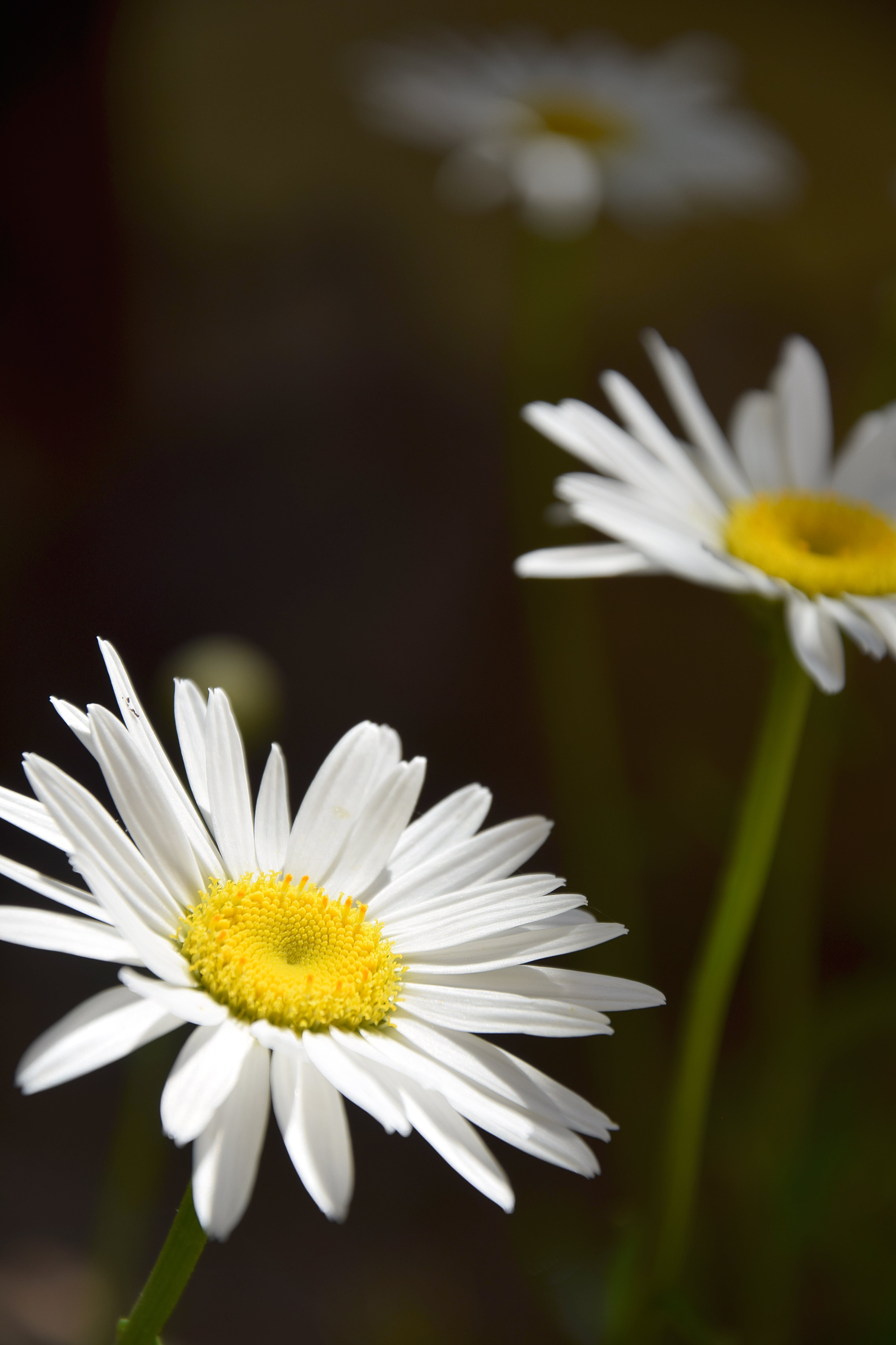 Selective Focus Photo of White Daisies in Bloom
