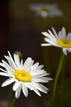Free stock photo of nature, flowers, petals, white