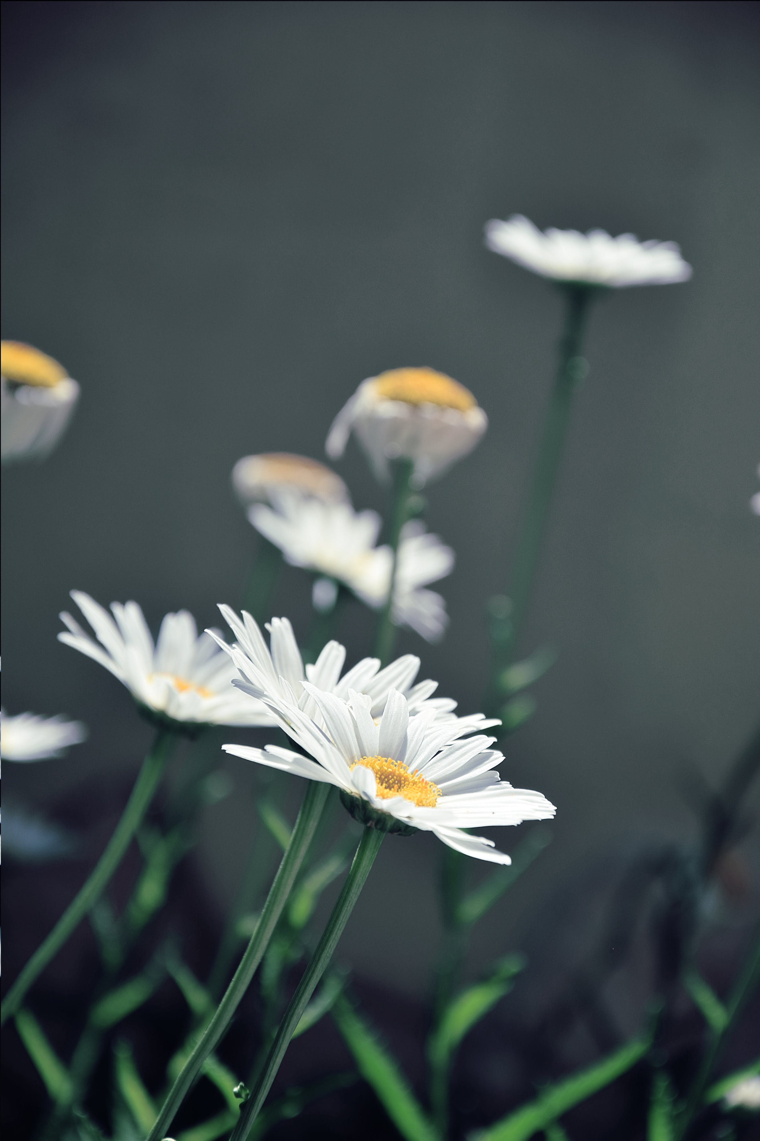 Close-up Photography of White Daisy Flowers