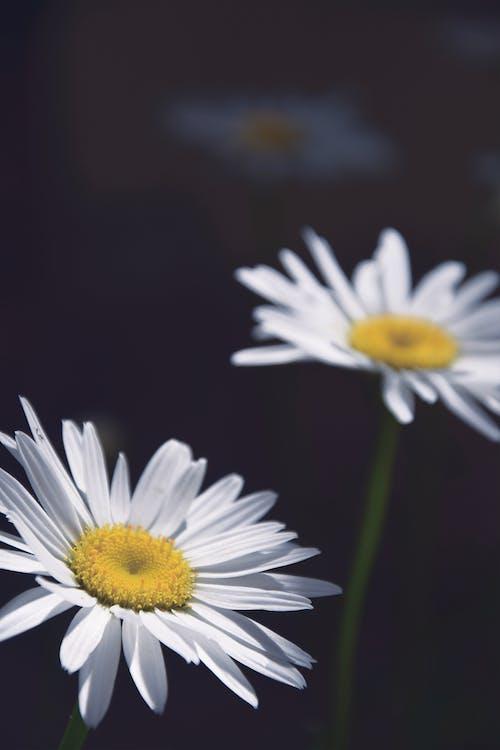 Ảnh lưu trữ miễn phí về cánh hoa, cánh hoa trắng, cúc trắng