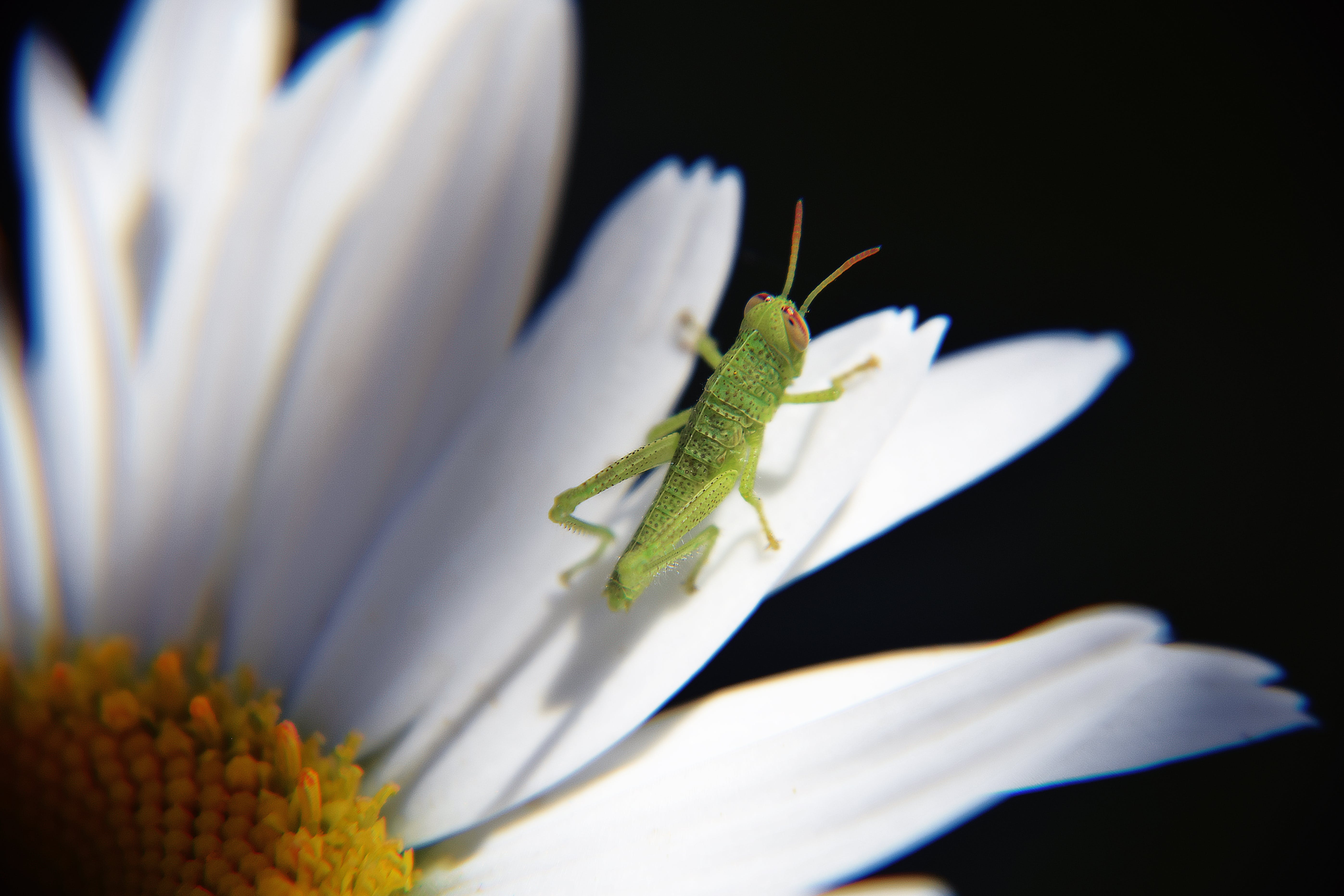 Green Grasshopper Perched on White Daisy Flower