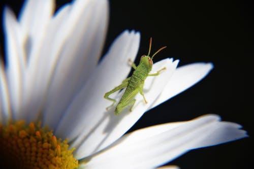 デイジー, フローラ, マクロ, 咲くの無料の写真素材