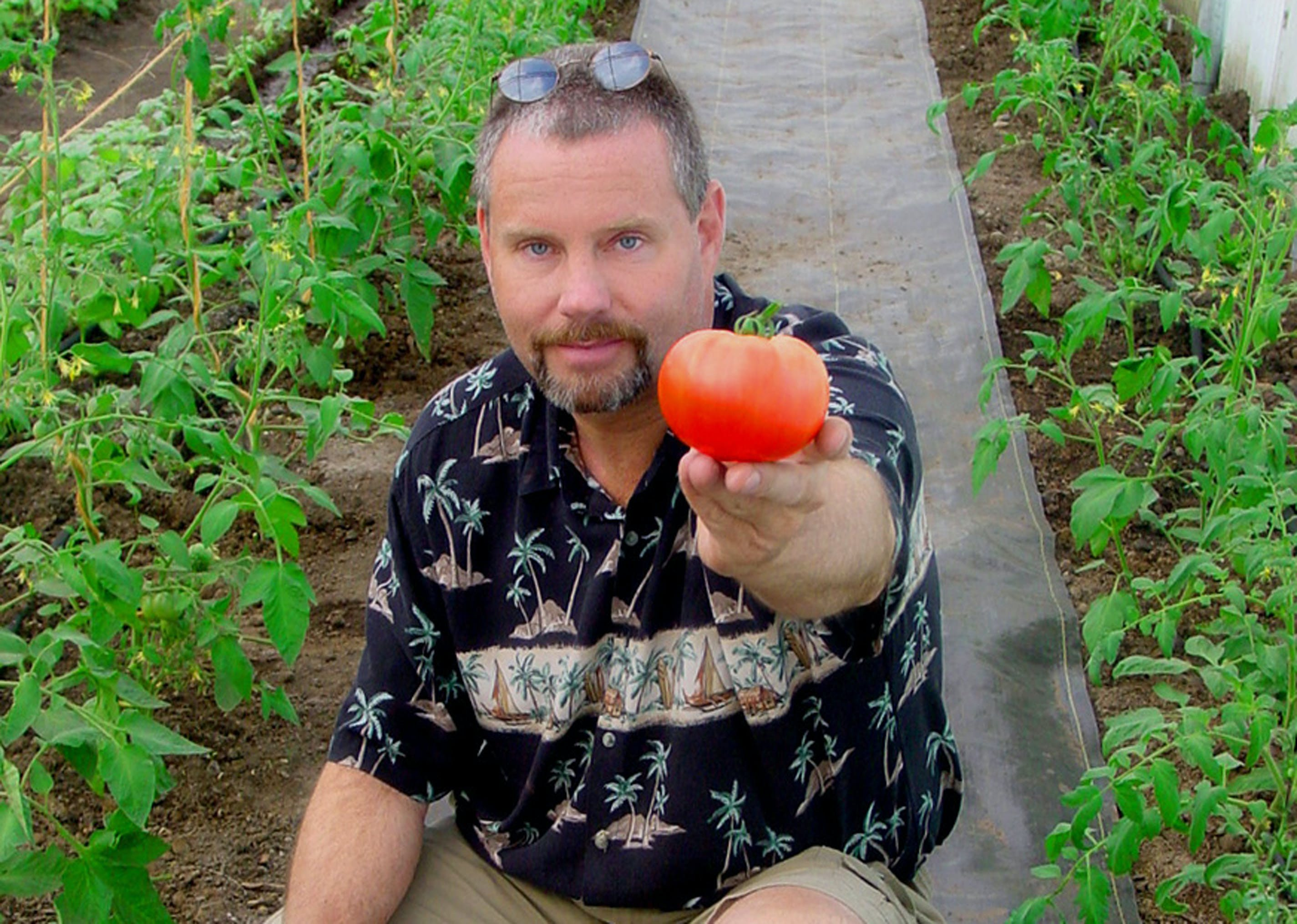 Free stock photo of organic tomato