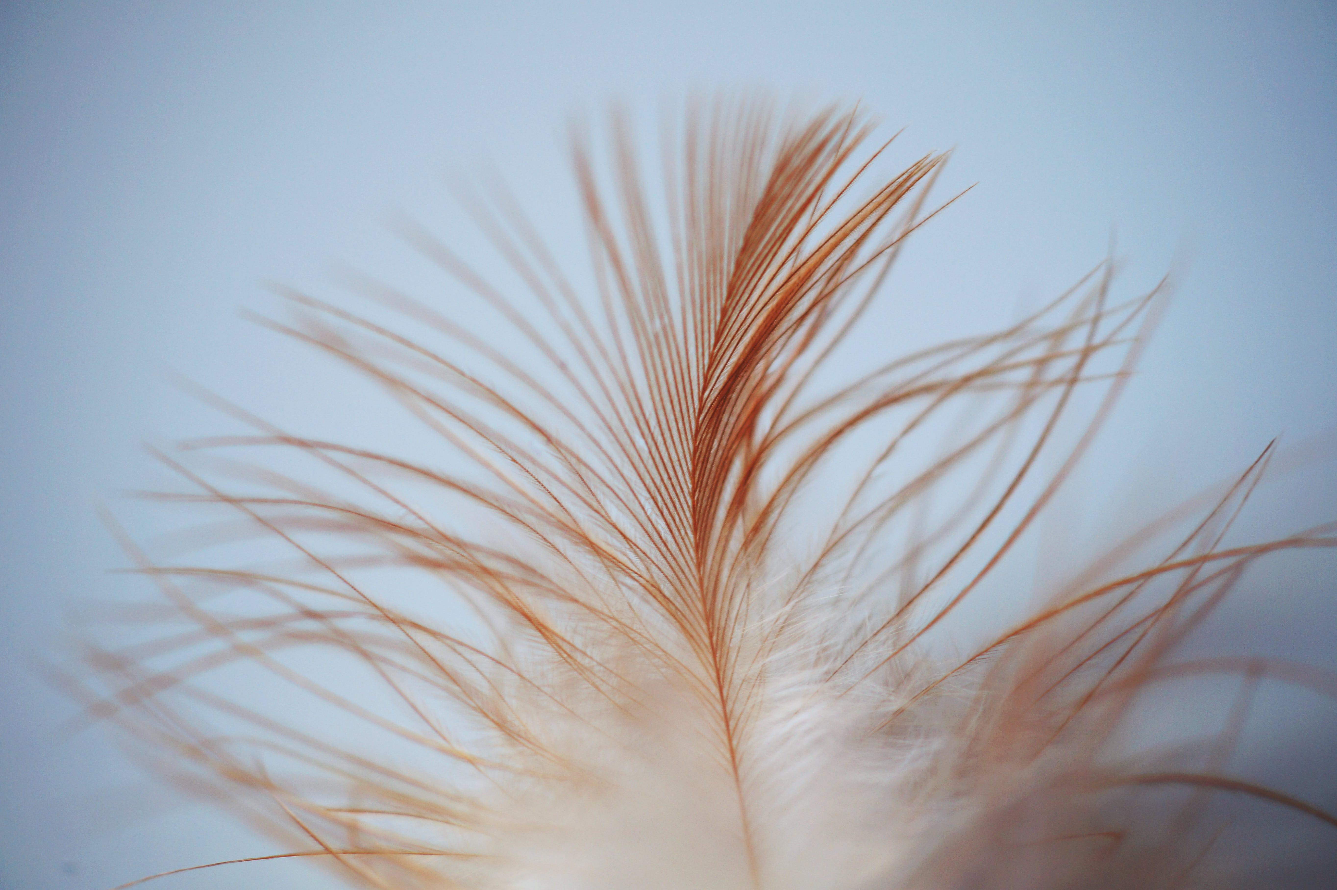 Single White Brown Feather