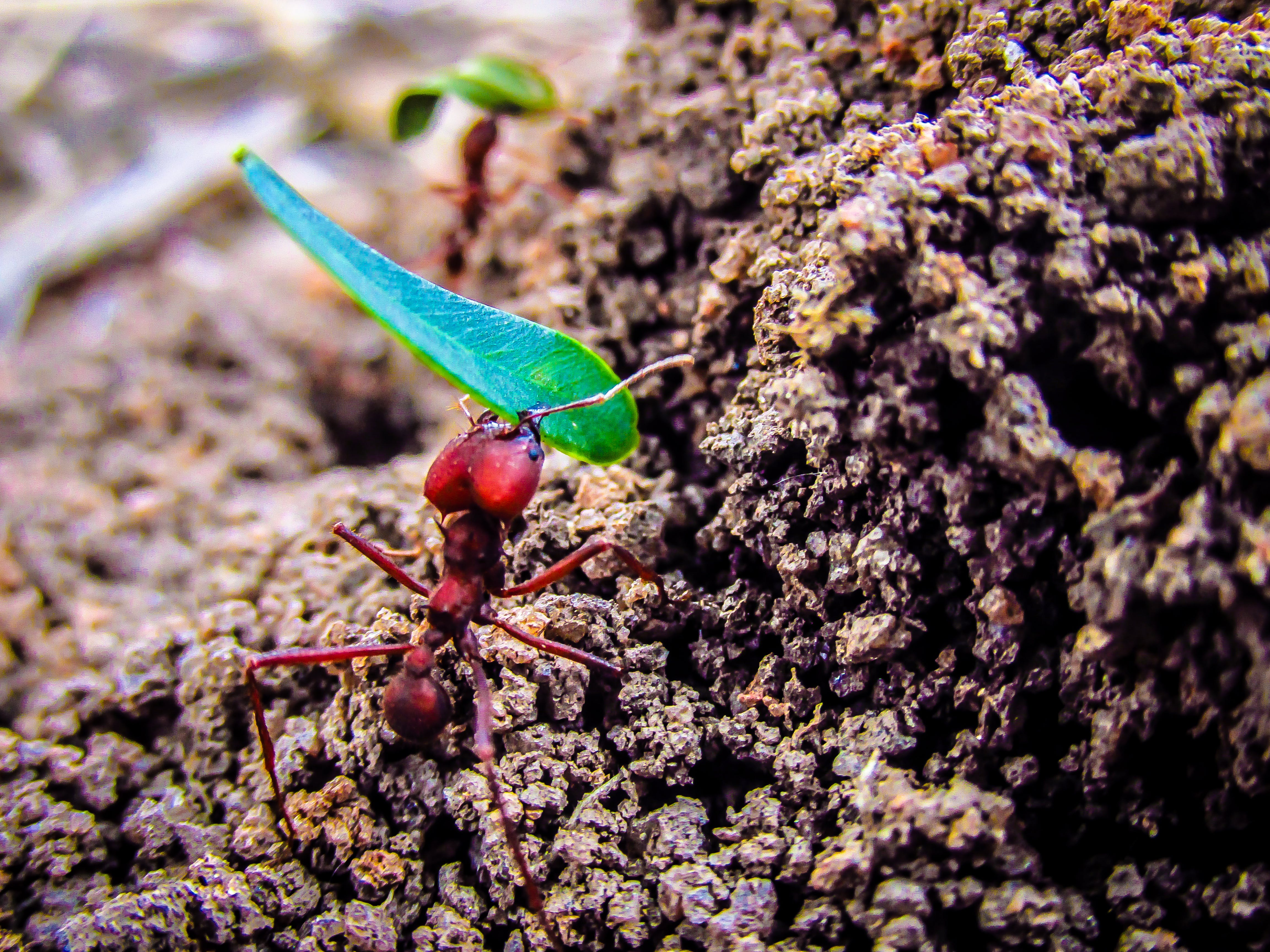 Free stock photo of ant, hard work, worker ant