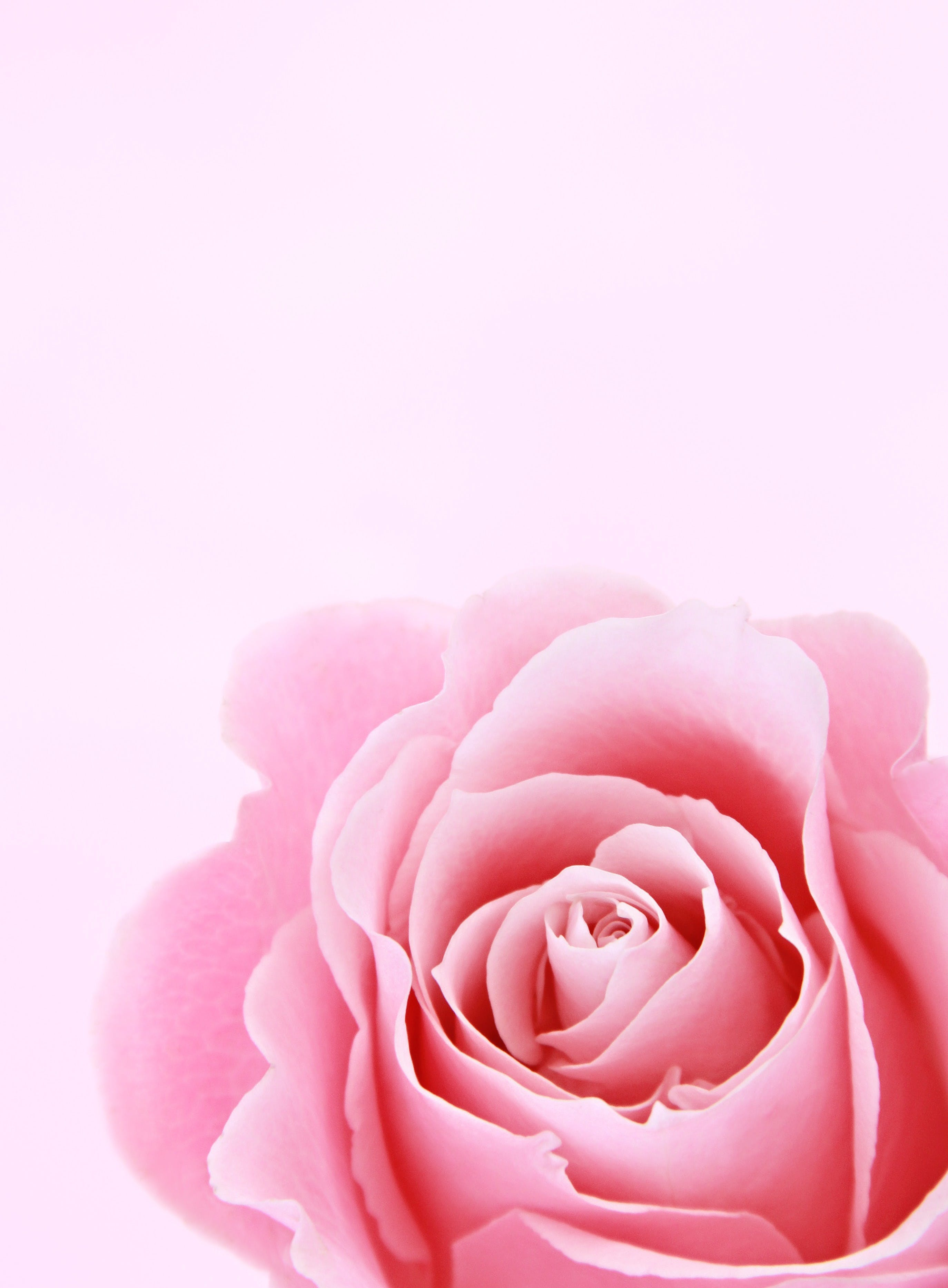 Pink Rose Closeup Photography