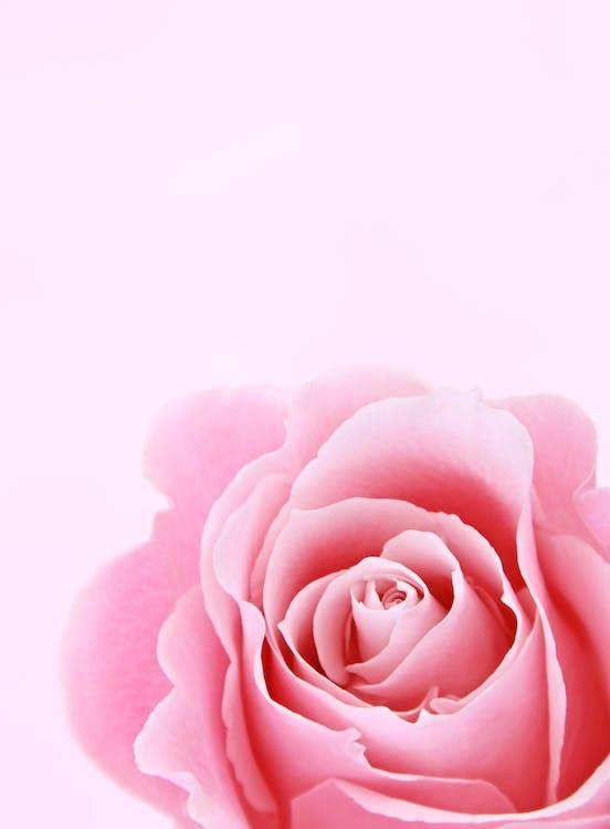 Fotografi Closeup Mawar Merah Muda