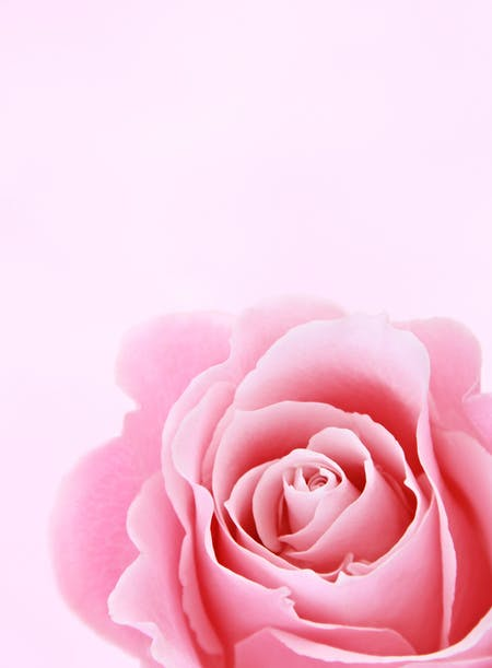Pink Rose Closeup Photography