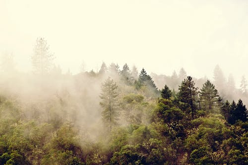 Free stock photo of evergreen, fog, foggy