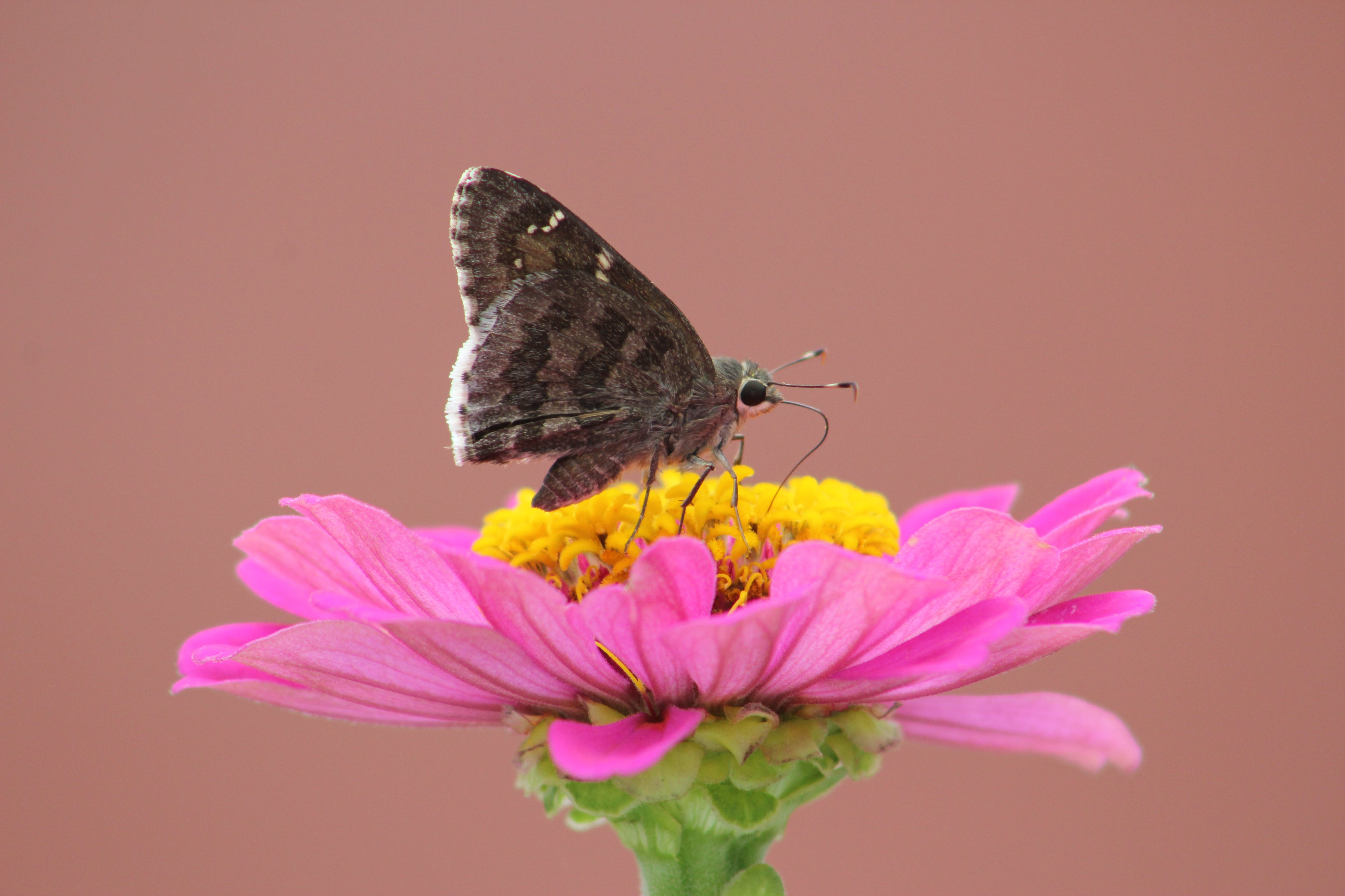 Free stock photo of butterfly on a flower, moth, nature photography