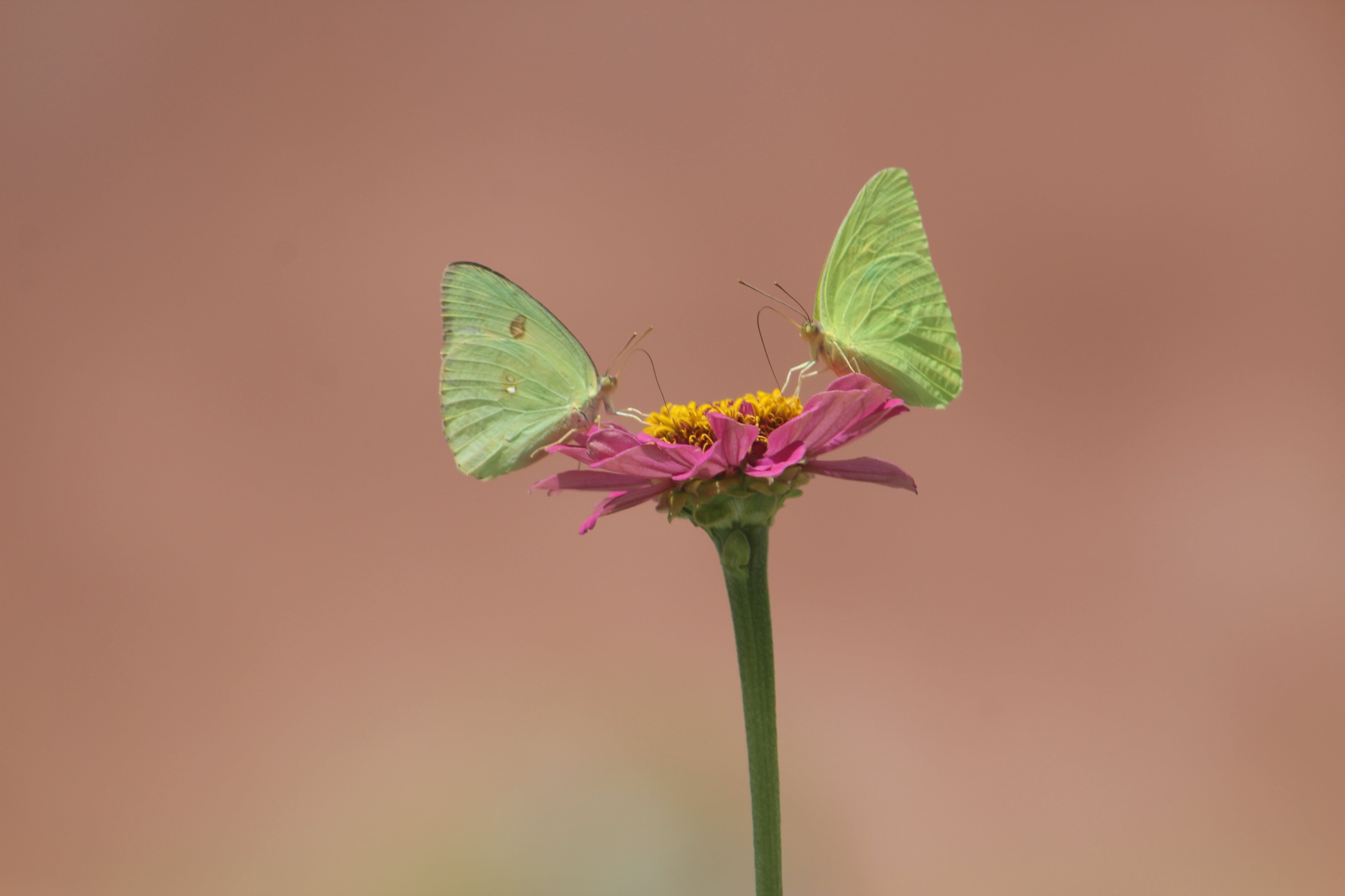 Free stock photo of butterflies, butterfly on a flower