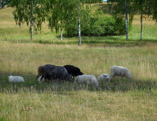 Δωρεάν στοκ φωτογραφιών με ζώο, κτηνοτροφία, μητέρα φύση, πρόβατα