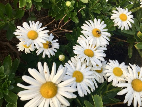 Free stock photo of bees, bees on daisies, bees on flowers