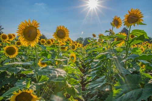 Free stock photo of sunbeams, sunflowers