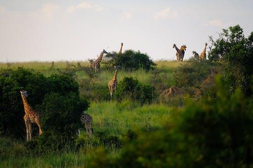 Ilmainen kuvapankkikuva tunnisteilla Afrikka, eläimet, eläinkuvaus, kirahvit