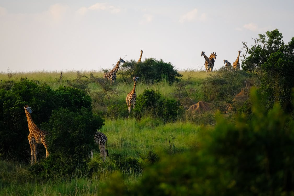 Giraffes Standing on Grass Field Surrounded by Plants