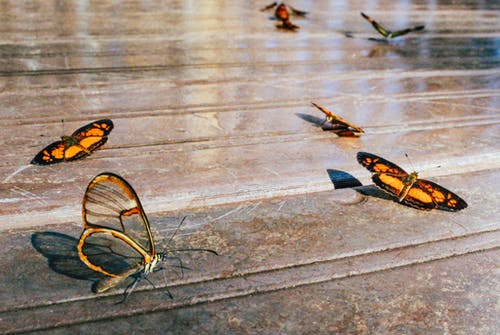 Butterflies Resting on Ground