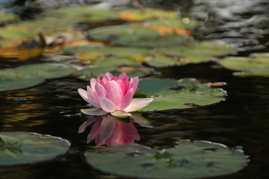 beauty, flower, lotus
