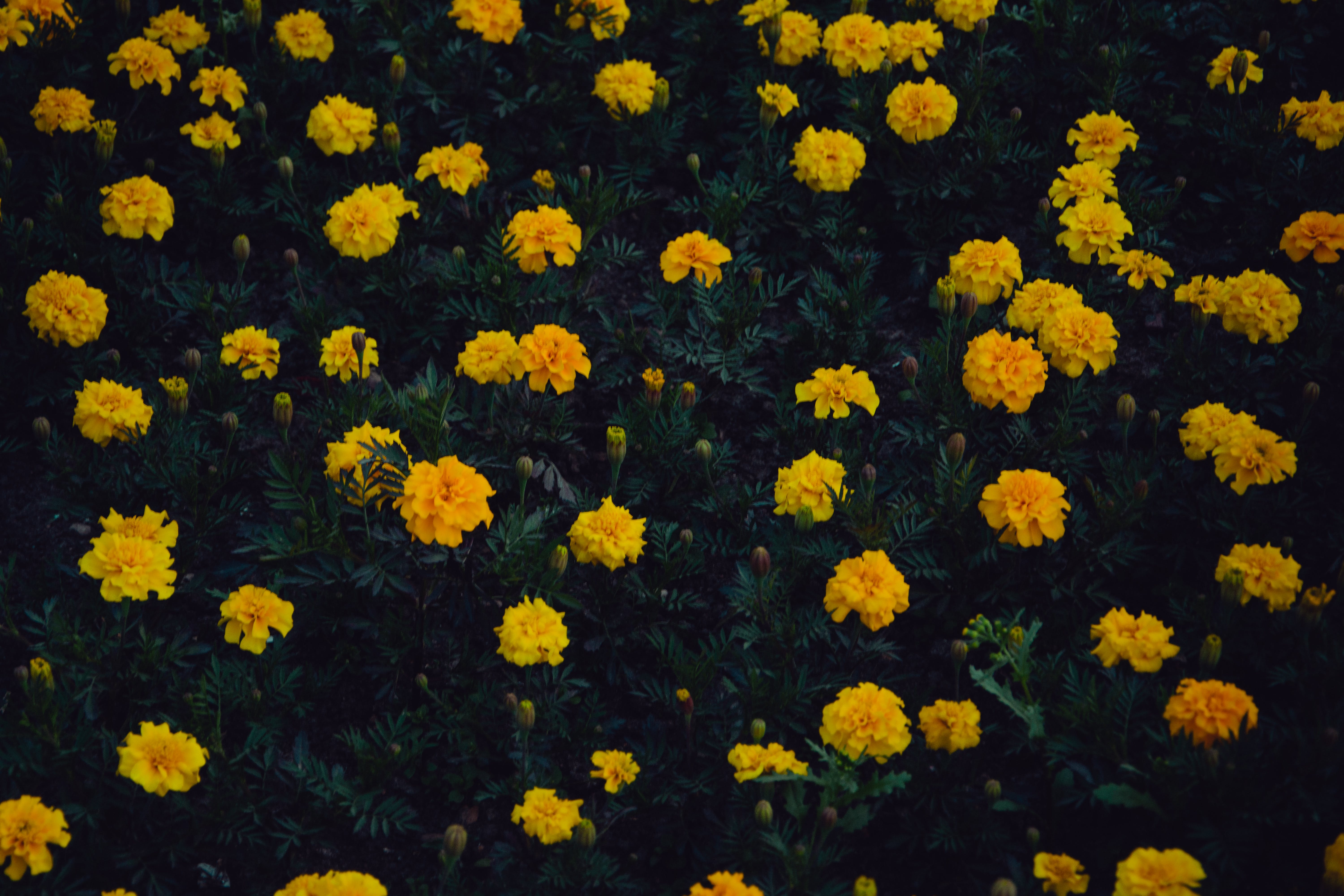 Photo of Fully Bloomed Yellow Petaled Flower Plants