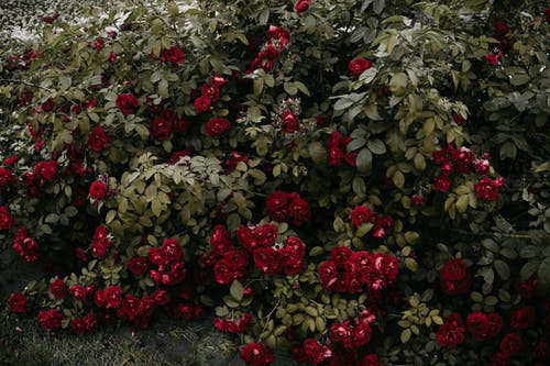Cluster of Red Roses