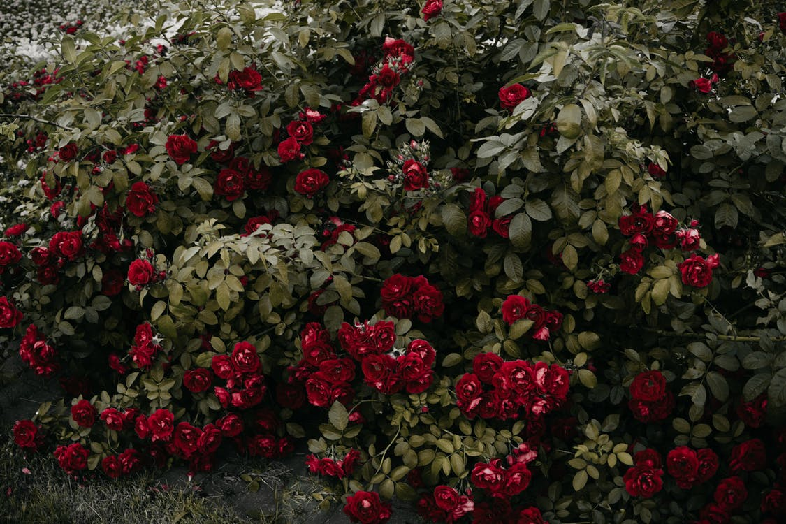 barva, botanický, červené kytky