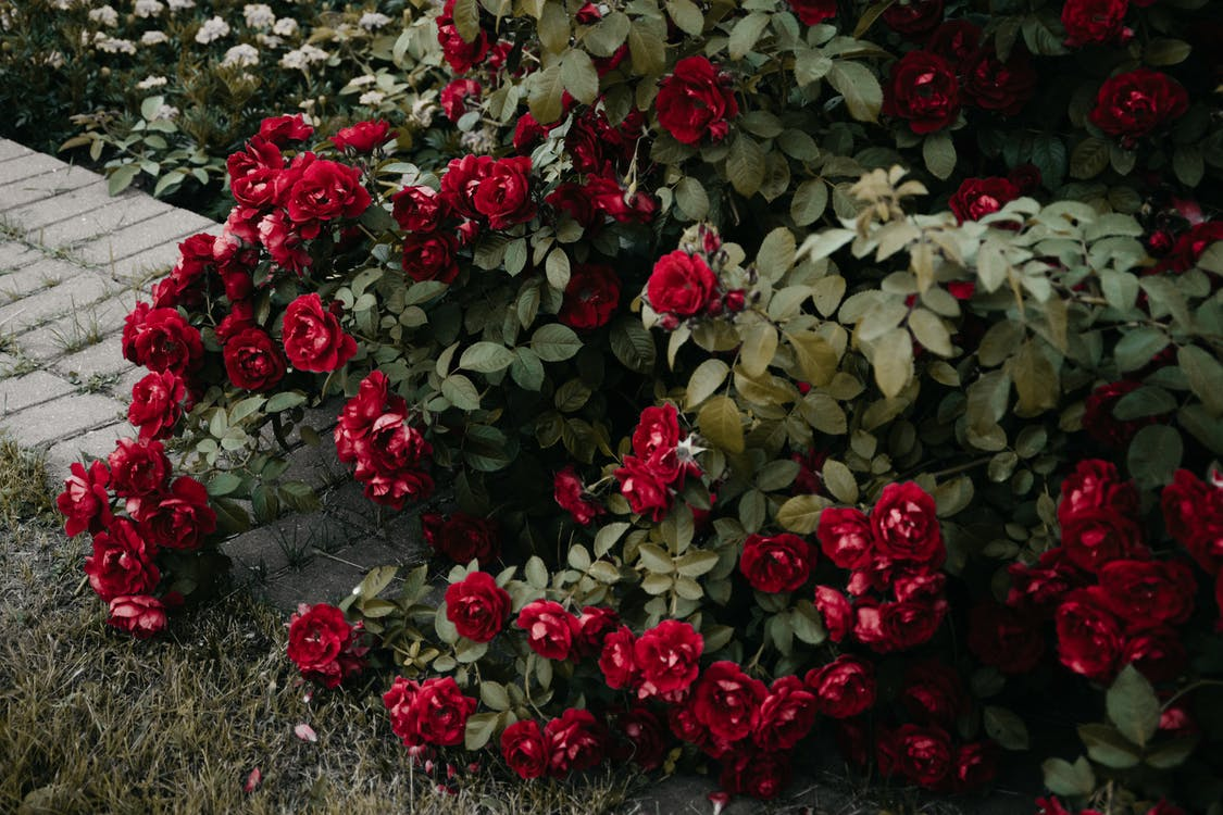 กระจุก, กลีบดอก, กลีบดอกไม้