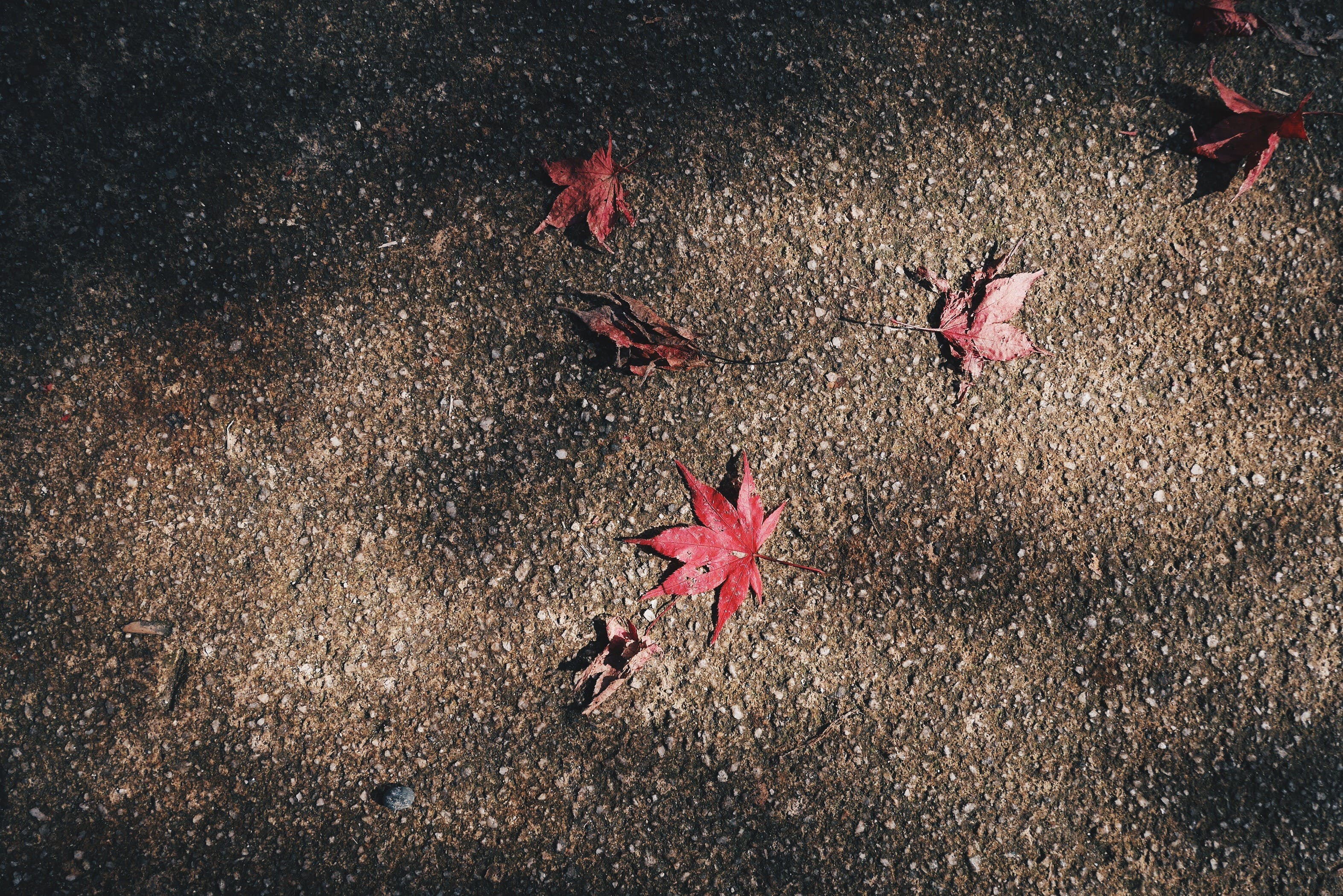 Free stock photo of fallen leaves, ground, maple leaves, nature