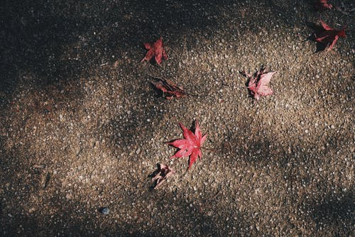 Základová fotografie zdarma na téma červená, javorové listy, mletý, park