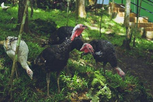 四隻火雞側身看 的 免費圖庫相片