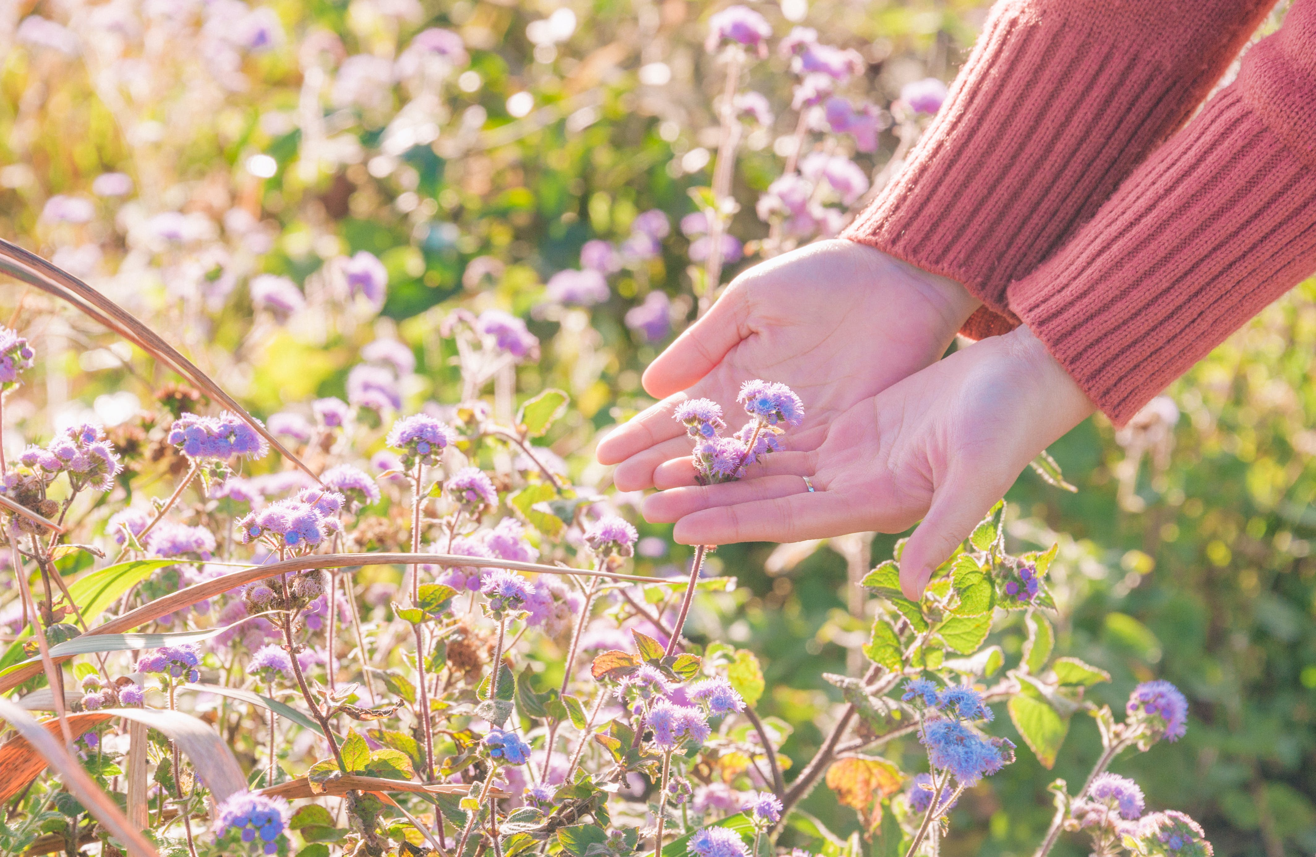Person Wearing Red Sweater Holding Purple Petaled Flowers