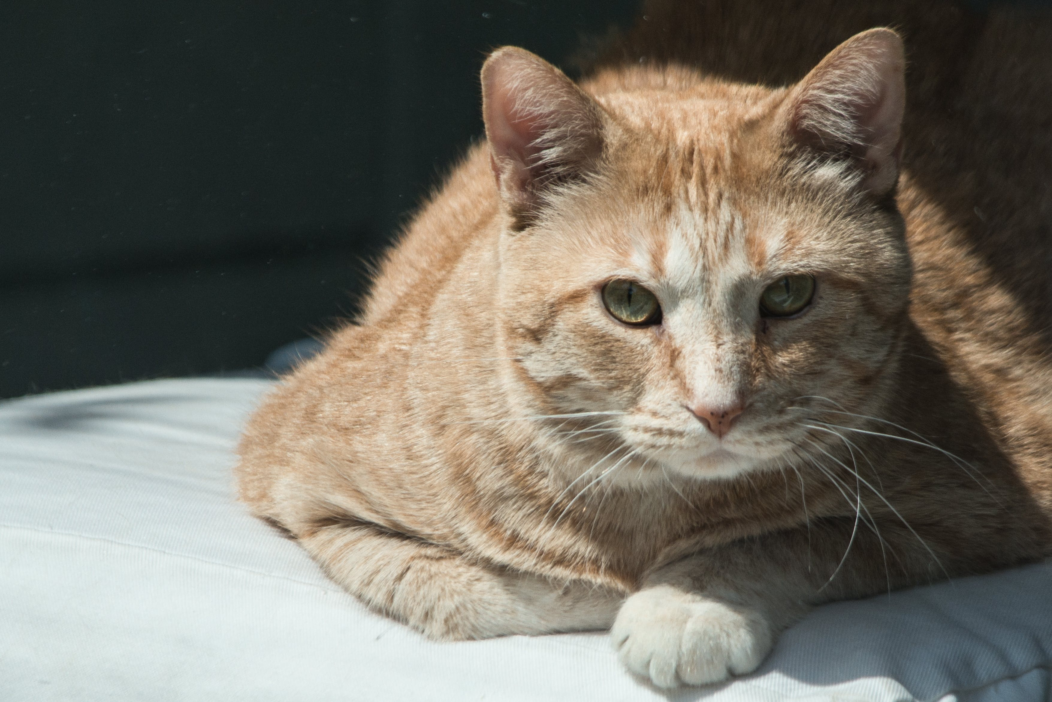 Close-up Photography of Orange Tabby Cat Lying on White Comforter