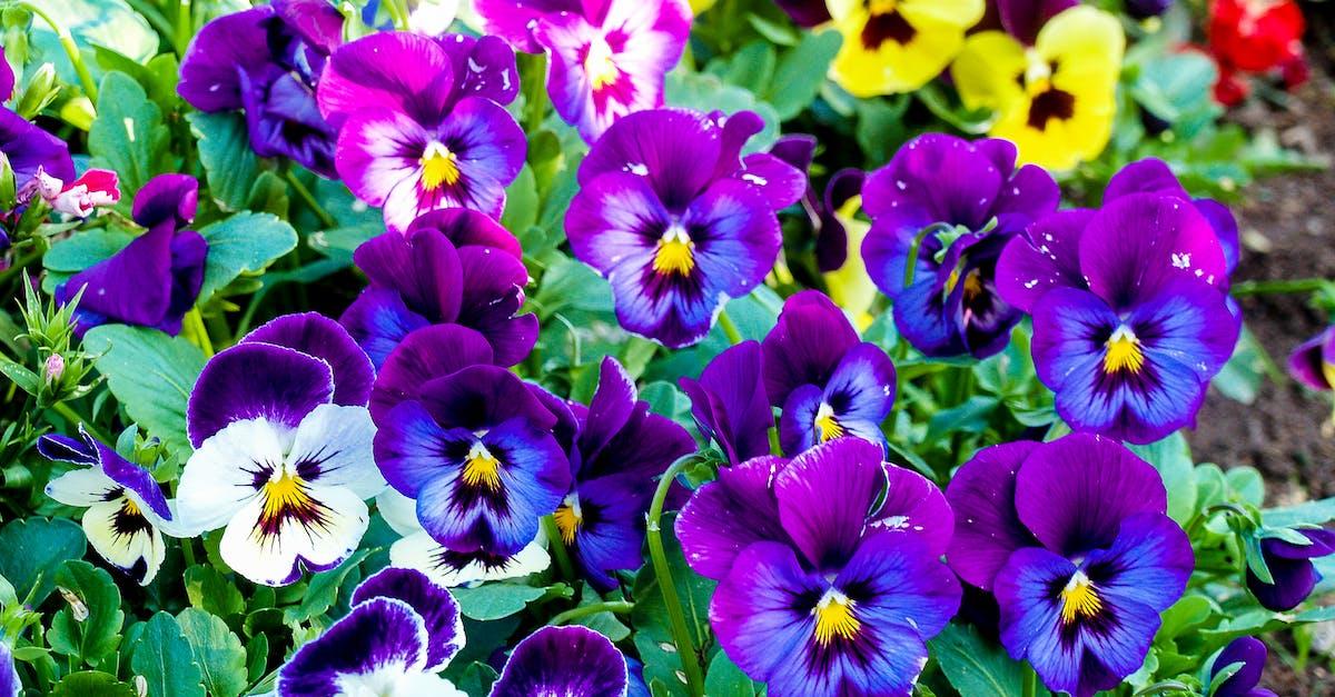 разместила анютины глазки цветы фото клумбы представляется
