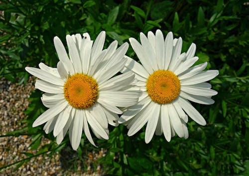 Free stock photo of blooming, blossom, chrysanthemum leucanthemum, common daisy