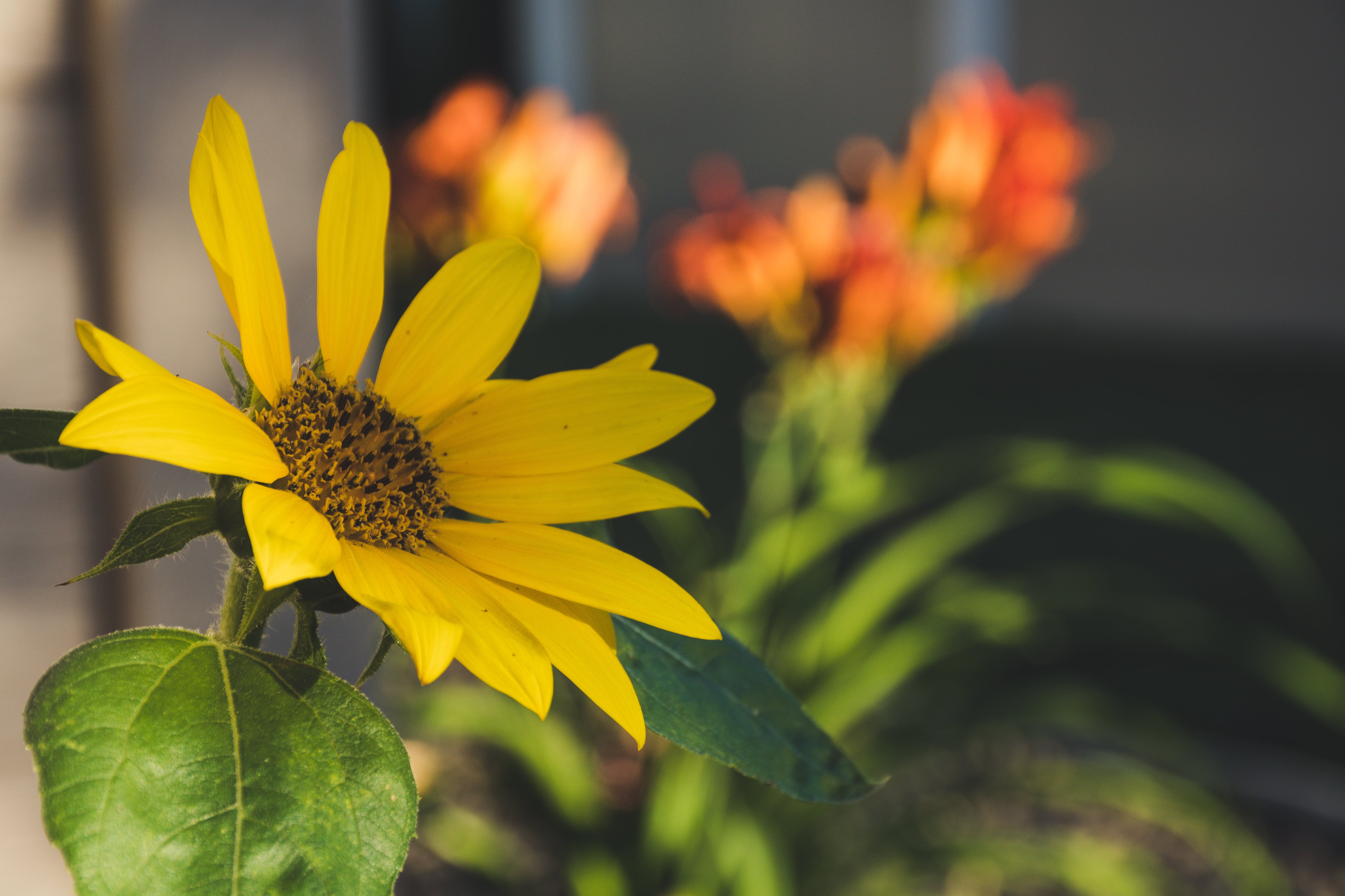 Yellow Sunflower Selective-focus Photography