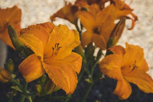 Photos gratuites de botanique, bourgeons de fleurs, brillant, centrales