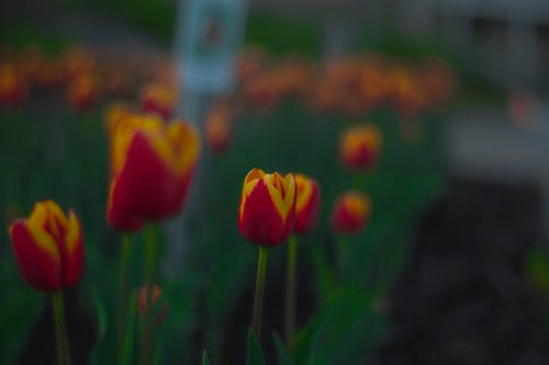 Selective Focus Photo of Red and Yellow Tulip Flowers