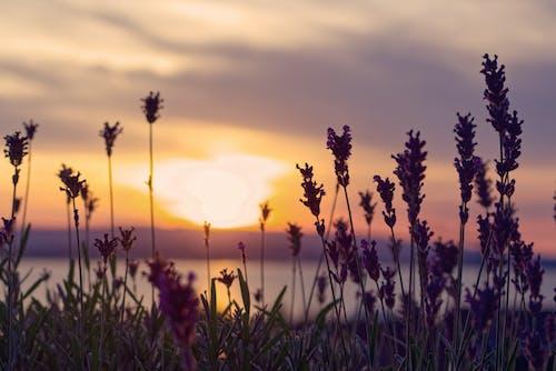Gratis stockfoto met achtergrondlicht, avond, bloemen, dageraad