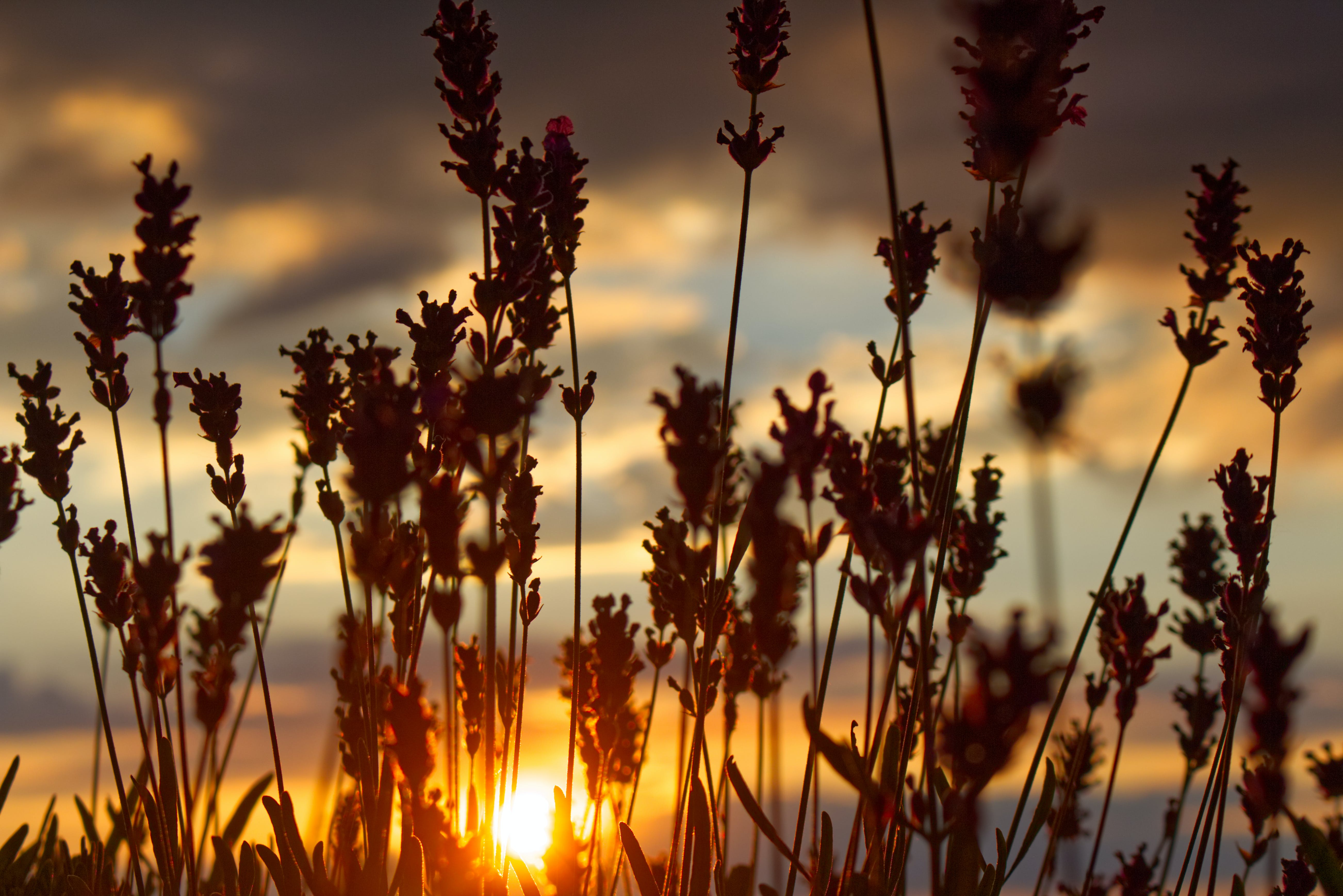 Silhouette Photo of Grass Under Gray Clouds during Golden Hour