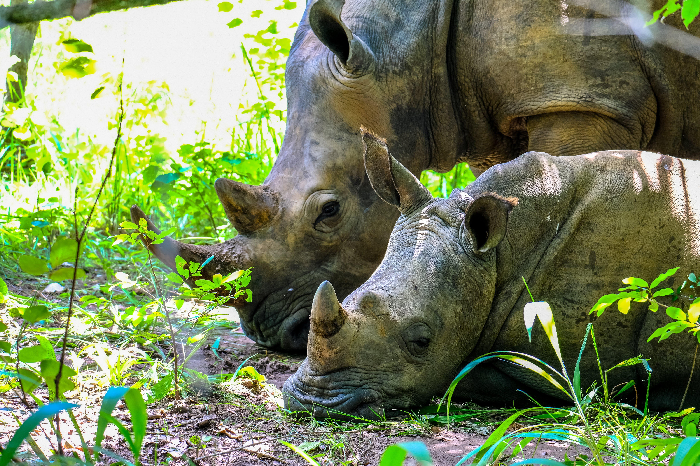 Two Brown Rhinoceros on Grass Field