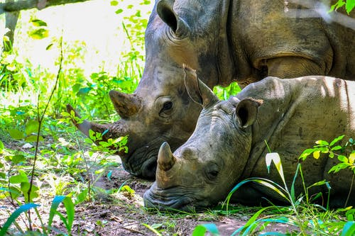 Two Brown Rhinoceros on Grass Field