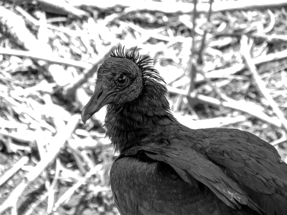 Grayscale Photography of Vulture