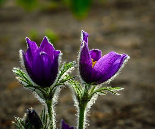 들판, 매크로, 아름다운 꽃, 일몰의 무료 스톡 사진