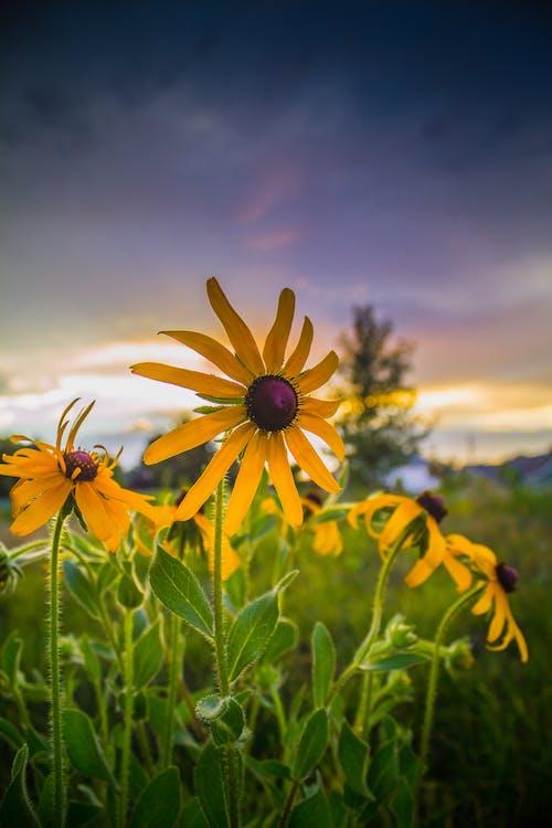 Yellow Daisy Flowers in Bloom