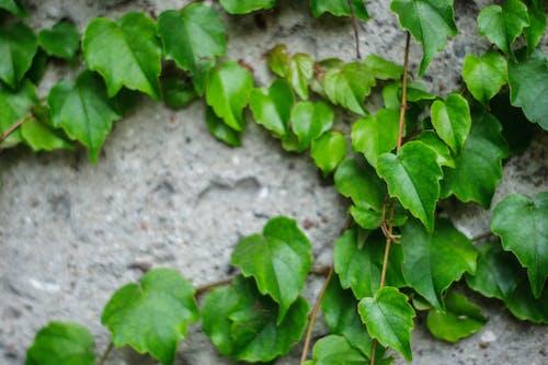 Foto d'estoc gratuïta de mur, natura, planta, verd